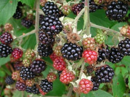 Children in the Isle of Man used to be told not to pick and eat blackberries after 1st October as the 'Devil' was supposed to have touched them with his 'club'.
