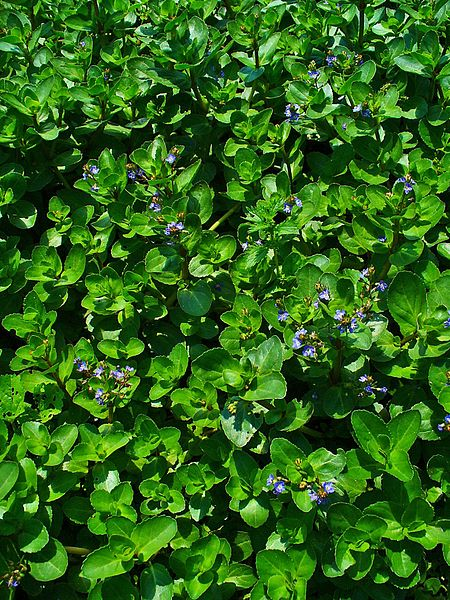 Brooklime and watercress appear as if by magic from pools and streams in the springtime