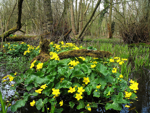 The 'Beltaine flower' Caltha Palustris (, Marsh Marigold, Lus buí Bealtaine) emerging in 'curragh' pools at Beltaine.