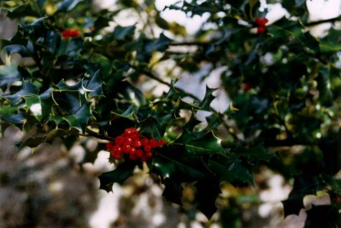 Holly (Ilex aquifolium) - In Gaelic, the name is Cuillean (Manx: Hollin). Its piercing spines and shiny evergreen leaves made it a tree associated with the Otherworld. 'Bir' in Old Irish means a 'sharp point' or 'spear' (eDiL)