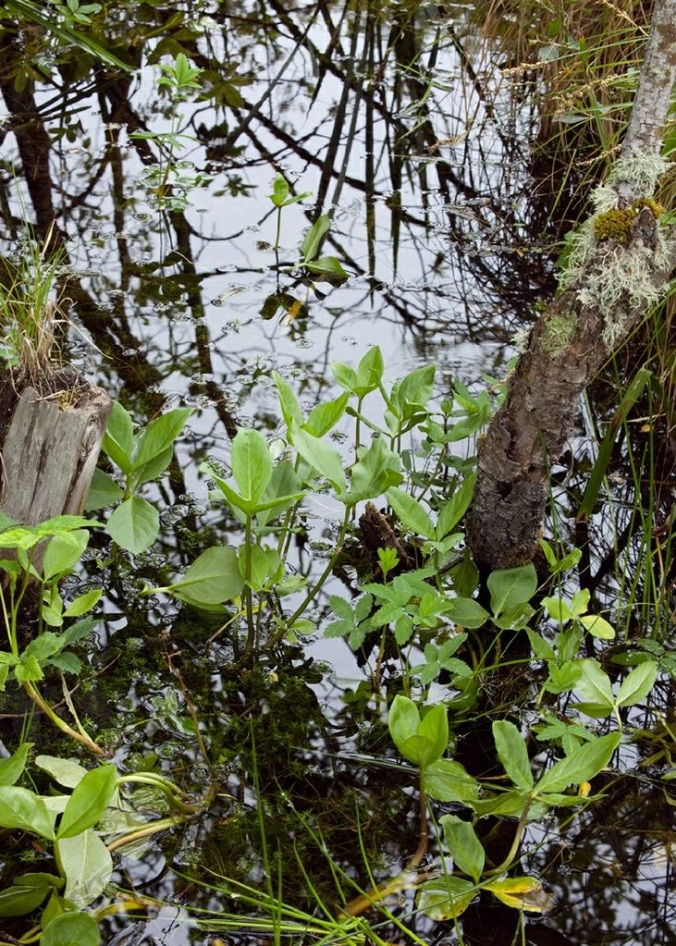 Menyanthes Trifoliata emerging from Curragh pool in springtime