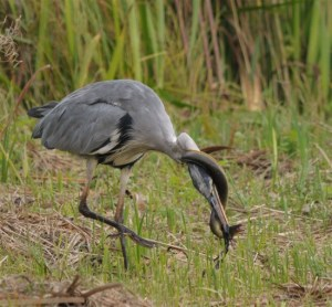 """Why are Herons so-called? Easy to say: They are 'Heros' who kill serpents..."" The Greek word for Hero is 'Heron'..."