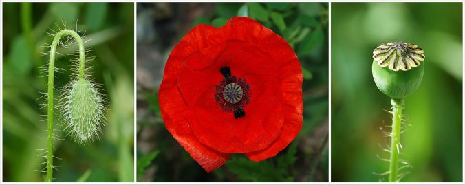 The poppy has represented rebirth since ancient times.