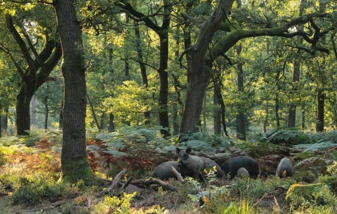 Wild pigs feeding in oak forests.